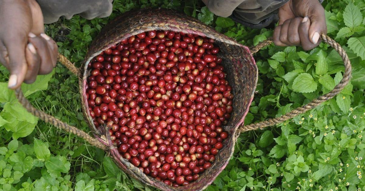 Hoe weet je of je duurzame koffie drinkt?