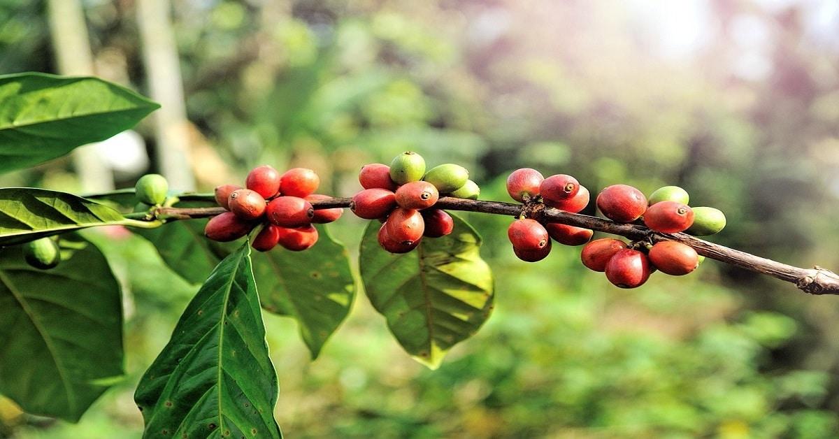 Koffieschaarste is dichterbij dan wij denken